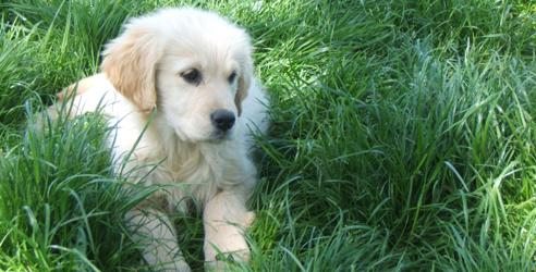 Dog love sur poney academy jeu gratuit poneys pour petits et grands - Golden retriever gratuit ...